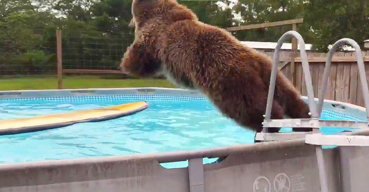 This Grizzly Bear Finds An Inviting Swimming Pool And What