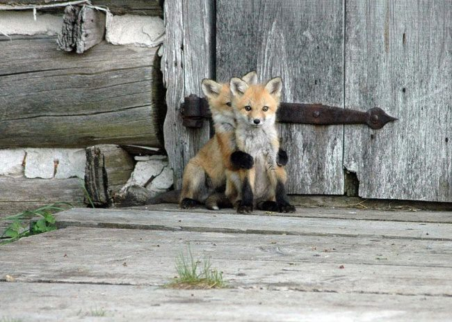 fall in love with foxes