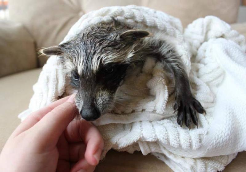 saved injured raccoon 1