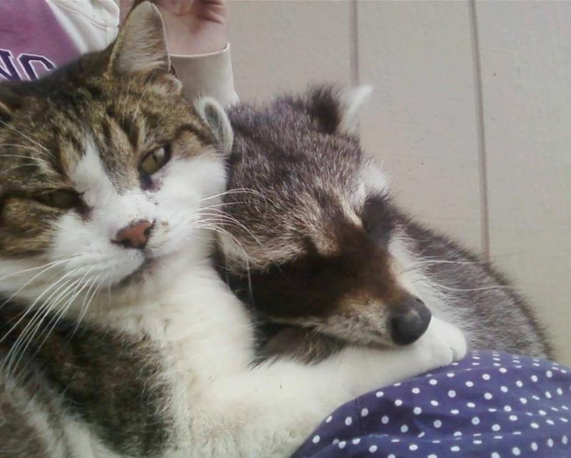 saved injured raccoon 11