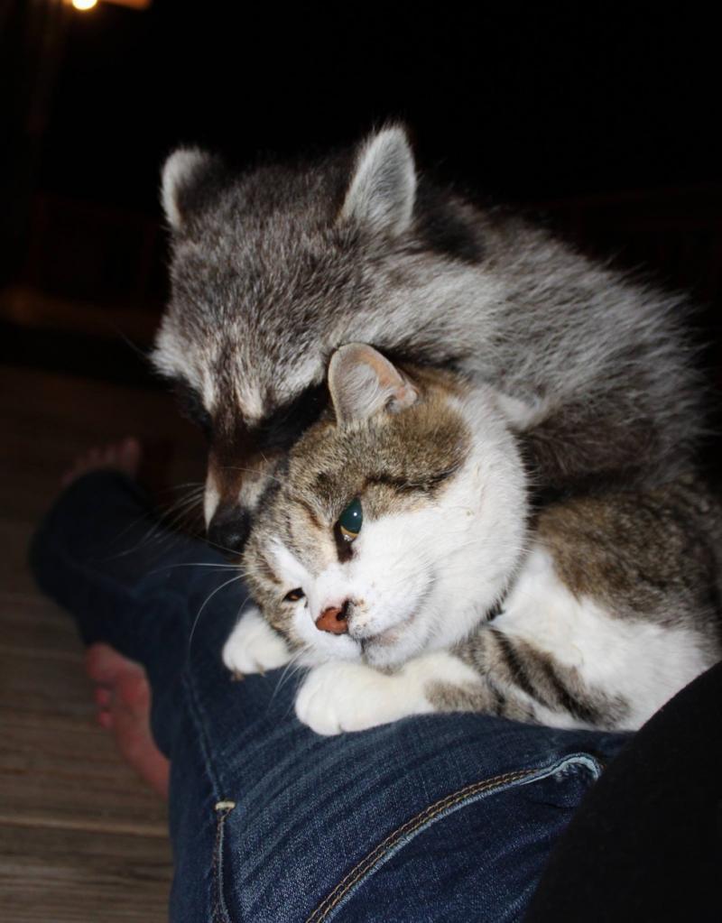 saved injured raccoon 12