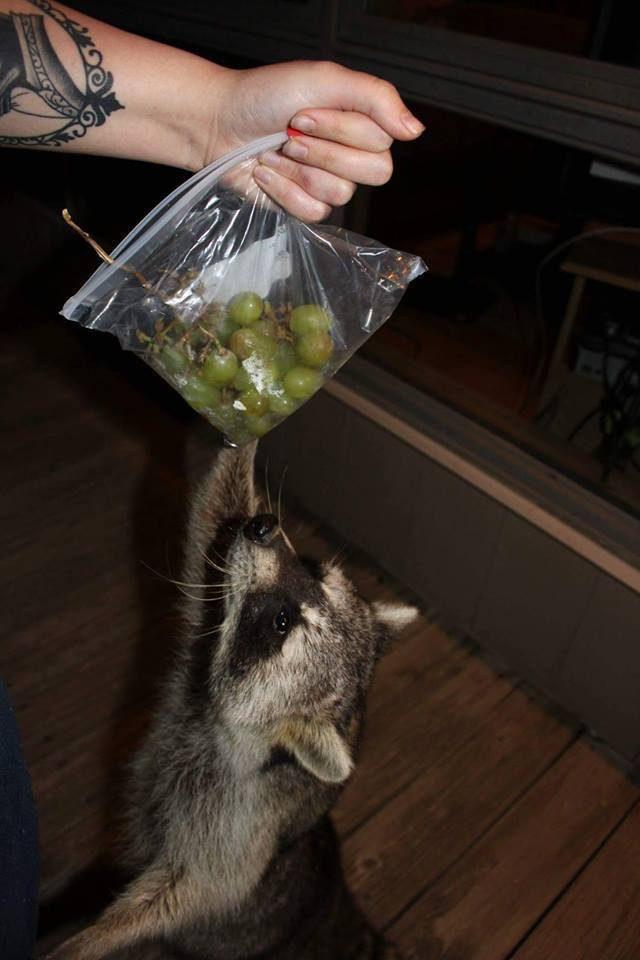 saved injured raccoon 15