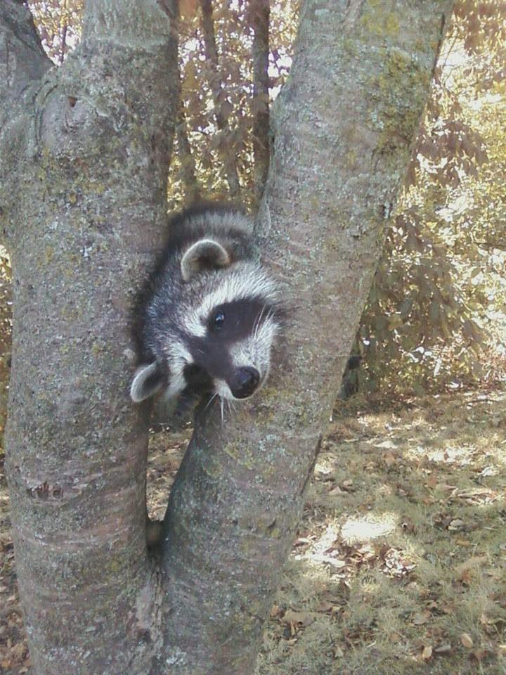 saved injured raccoon 16