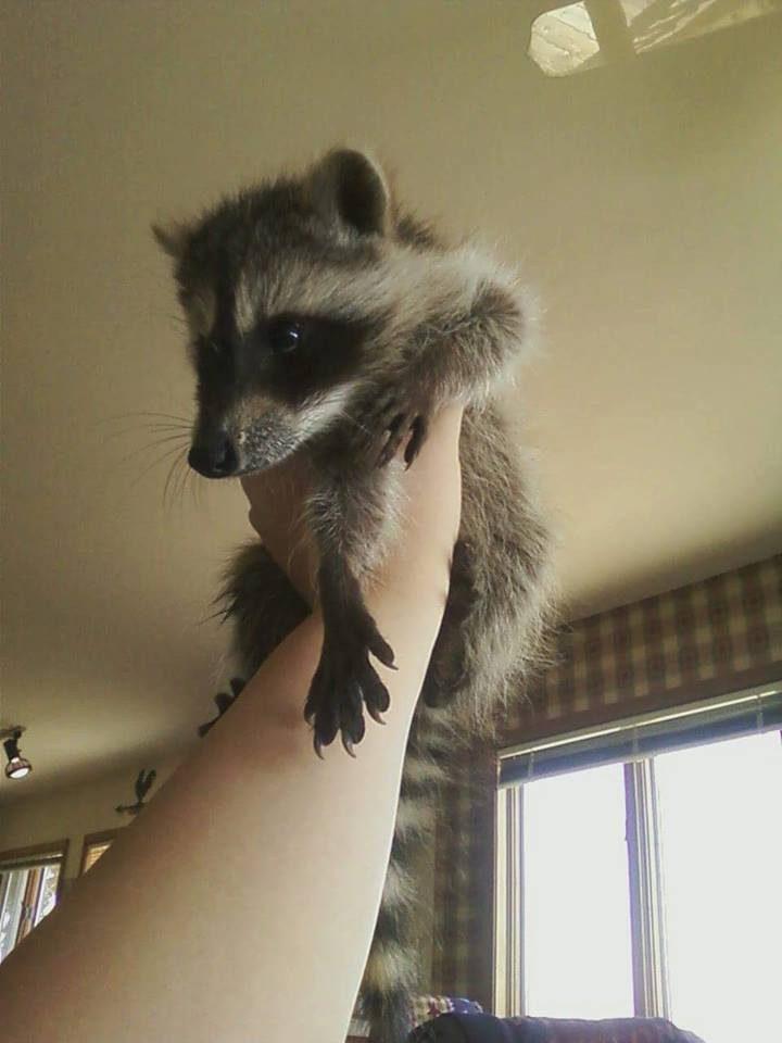 saved injured raccoon 2