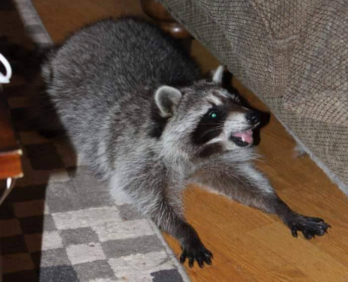 saved injured raccoon 5
