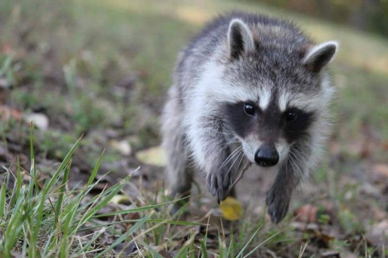 saved injured raccoon 8