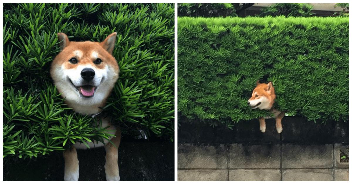 Japanese Shiba Inu Gets Himself Stuck In A Bush But His