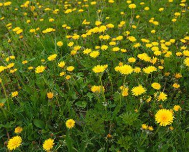 dandelion cancer treatment