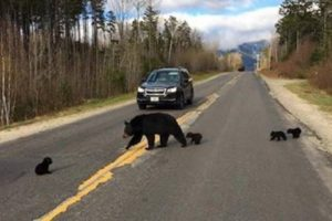 baby bear crossing