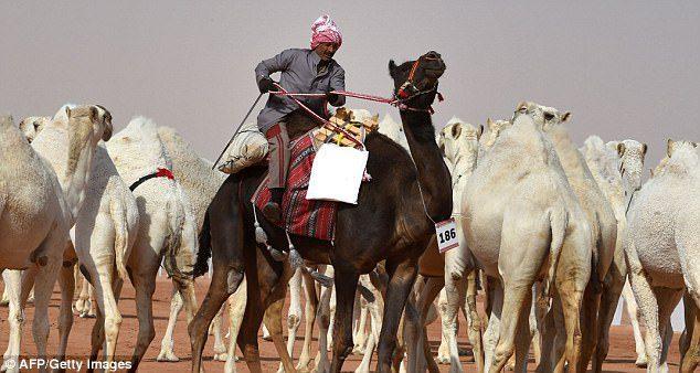 camel beauty contest