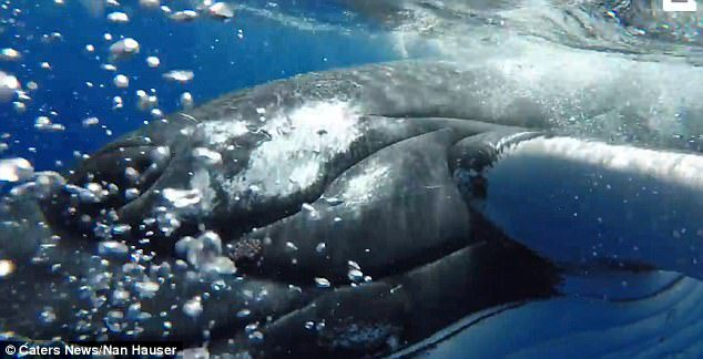 whale protects diver