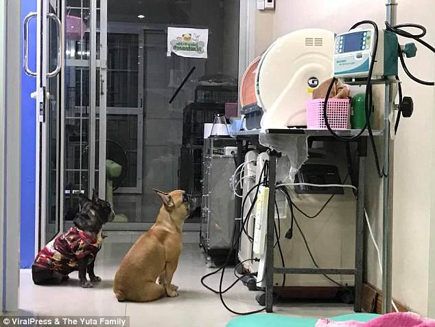 mother dog watching premature pups