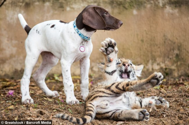 tiger cub and puppy friendship