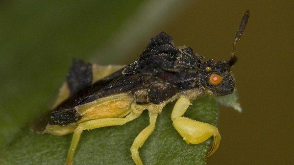 assassin bug bite