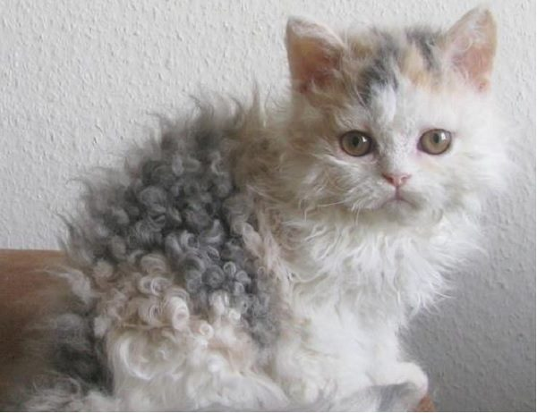 curly haired cat